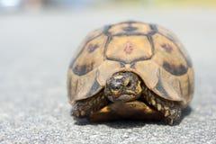 非洲少年山草龟 库存照片