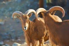 非洲山羊亚利桑那野生生物公园 库存图片