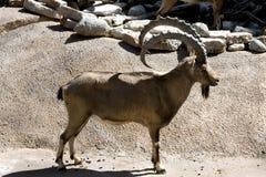 非洲山羊 免版税图库摄影