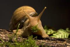 非洲巨型蜗牛 库存图片