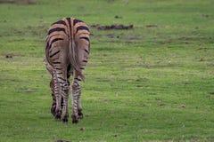 非洲平原斑马从后面 免版税图库摄影