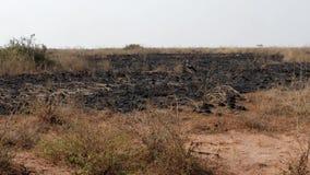 非洲平原被烧的草在旱季的在大草原野生生物 股票视频