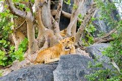 非洲幼狮豹属嚼在岩石的利奥一个分支 免版税库存图片