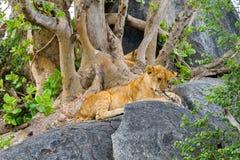 非洲幼狮豹属嚼在岩石的利奥一个分支 库存照片