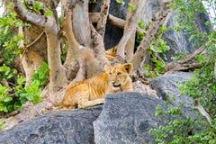 非洲幼狮豹属嚼在岩石的利奥一个分支 库存图片