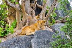 非洲幼狮豹属嚼在岩石的利奥一个分支 免版税库存照片