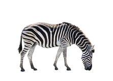 非洲斑马侧视图充分的身体隔绝了白色背景 免版税库存图片