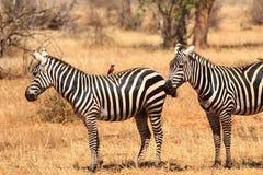 非洲斑马在Tsavo公园在肯尼亚 库存照片