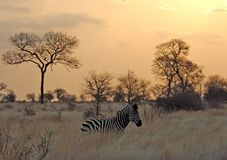 非洲日落斑马 库存照片