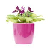 非洲明亮的桃红色紫色紫罗兰 免版税库存照片