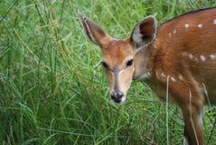非洲条纹羚羊鹿母鹿 库存图片