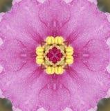非洲桃红色紫罗兰 图库摄影