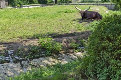 非洲棕色公牛Ankole Watusi,猜错金牛座watusi或Ankole长角牛休息在太阳 免版税库存照片