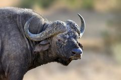 非洲水牛城,大动物在自然栖所 库存照片