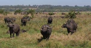 非洲水牛城,syncerus caffer,在大草原,内罗毕公园的牧群在肯尼亚,实时 股票录像