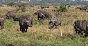非洲水牛城,syncerus caffer,在大草原,内罗毕公园的牧群身分在肯尼亚,实时 股票视频