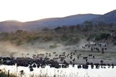 非洲水牛海角牧群 免版税库存图片
