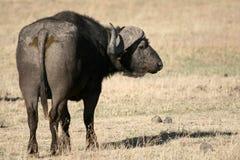 非洲水牛火山口ngorongoro坦桑尼亚 库存照片
