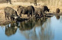 非洲水牛饮用水 库存照片