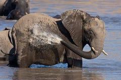 非洲沐浴的大象 免版税库存照片
