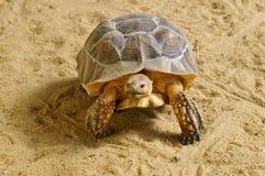 非洲沙子激励了草龟走 库存照片