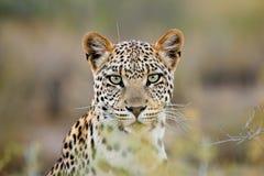 非洲沙漠kalahari南豹子的纵向 库存照片
