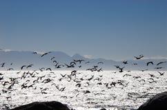 非洲海鸟群飞行在错误海湾南非的 图库摄影