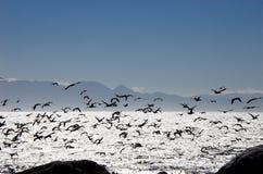 非洲海鸟群飞行在错误海湾南非的 免版税图库摄影