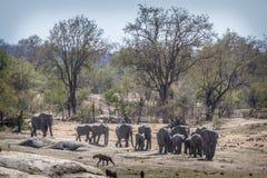 非洲灌木大象在克鲁格国家公园,南非 免版税库存照片