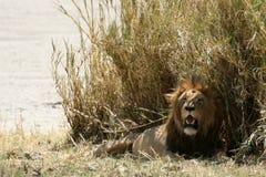 非洲火山口狮子ngorongoro坦桑尼亚 免版税库存照片