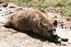 非洲火山口鬣狗ngorongoro坦桑尼亚 库存照片