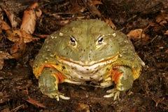 非洲牛蛙 库存照片