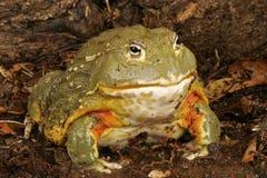 非洲牛蛙 免版税库存图片