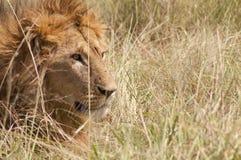 非洲特写镜头狮子男 免版税库存照片