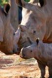 非洲犀牛白色 免版税图库摄影