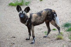 非洲狗狩猎 免版税库存图片
