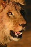 非洲狮子年轻人 免版税图库摄影