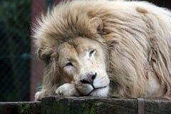 非洲狮子白色 库存照片