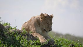 非洲狮子睡觉说谎在大草原的草 股票录像