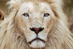 非洲狮子纵向白色 库存图片