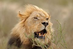 非洲狮子纵向 免版税库存照片