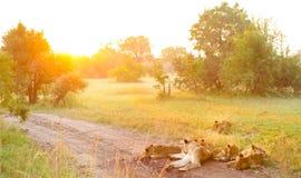非洲狮子自豪感在土路的 免版税库存图片
