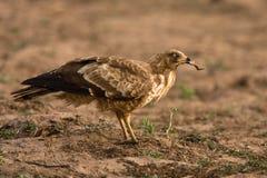非洲猎兔犬鹰 库存照片