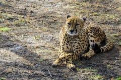 非洲猎豹在春天动物园基于第一绿草 俄国 免版税库存照片