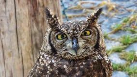 非洲猫头鹰细节  免版税库存图片