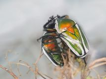 非洲甲虫 免版税库存照片