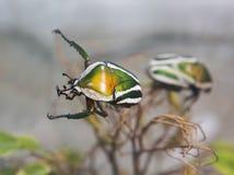 非洲甲虫 免版税库存图片