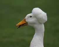 非洲的鸭子 库存图片