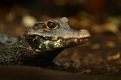 非洲矮小的鳄鱼,宽广装管嘴的骨多的鳄鱼, Osteolaemus tetraspis,细节画象在自然栖所 与大e的蜥蜴 免版税库存图片