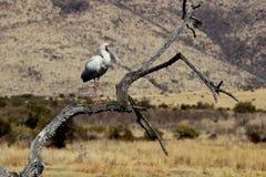 非洲篦鹭 库存图片
